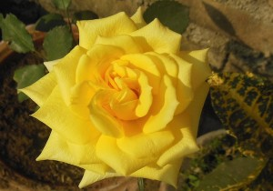 The unofficial flower of friendship (Credit: Wikipedia)